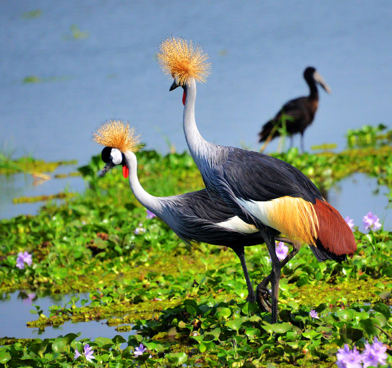 The crested crane
